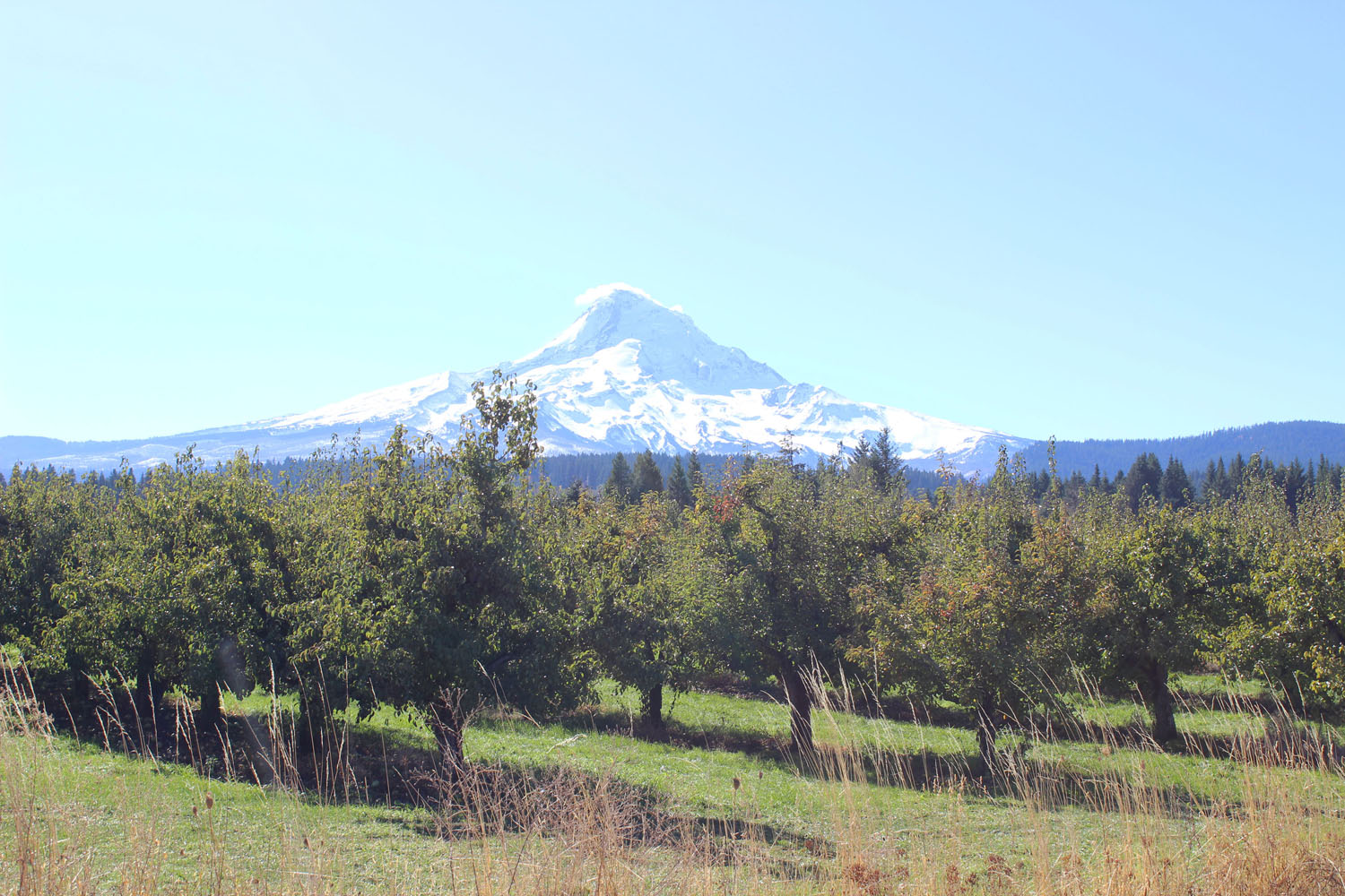Apple Picking in Hood River: view of Mt. Hood from Kiyokawa Family Orchard